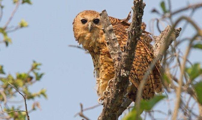 Western Barn Owl at Selati Camp (c) Norman Chauke